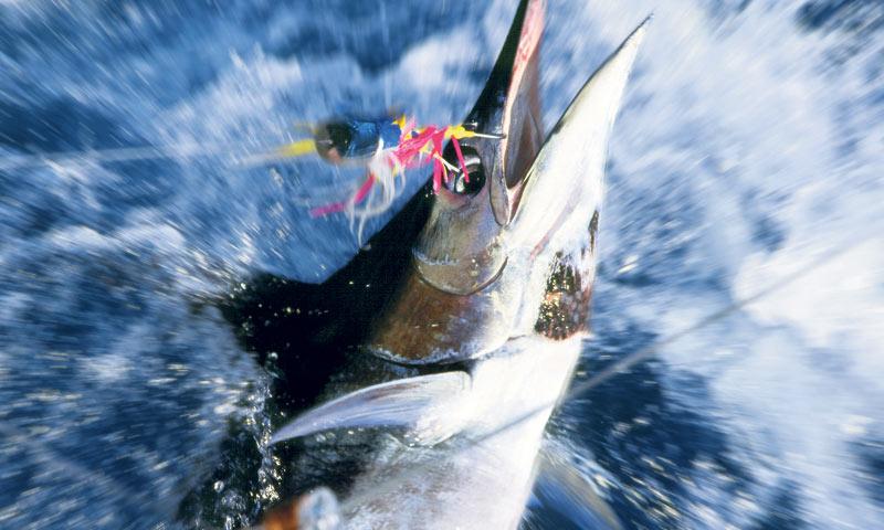 big, game, fishing, tuna, professional, adriatic, zadar, croatia, www.zadarvillas.com