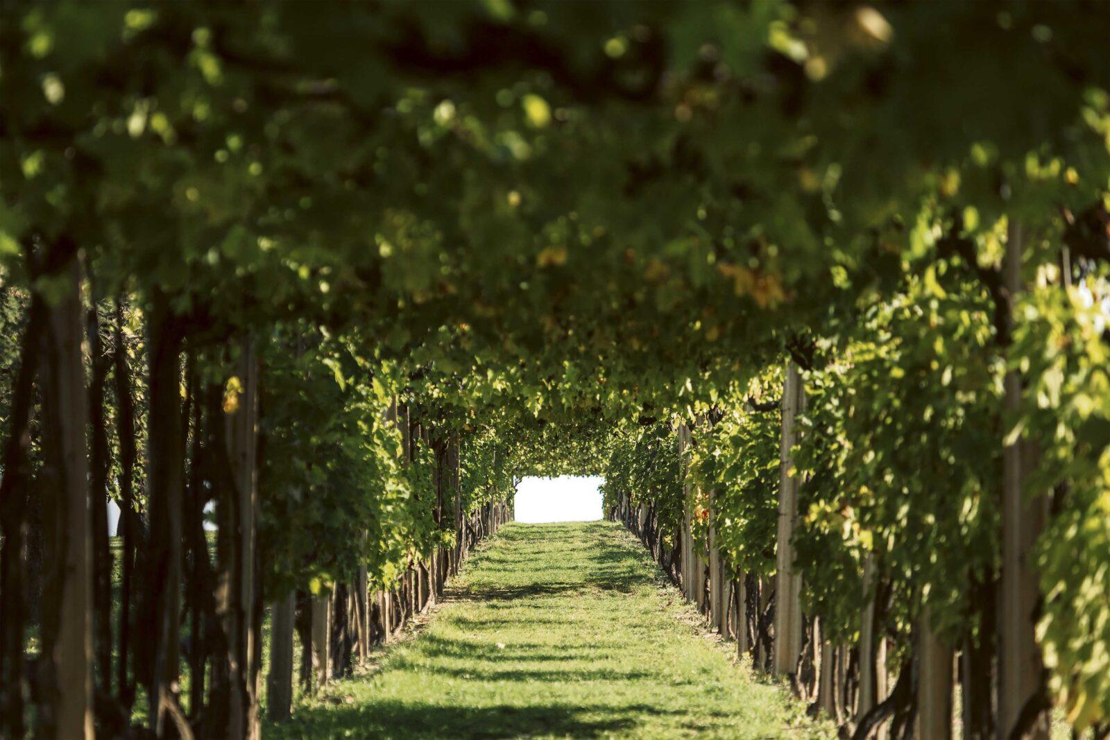 Fotografije: Jadran Babić i Erdutski vinogradi