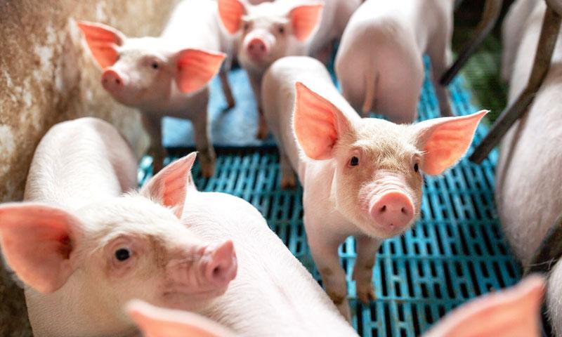 mali prehrambeni plan svinja